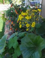 Ligularia, Pelargonium and Abutilon